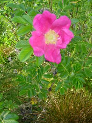 1st_rose_2
