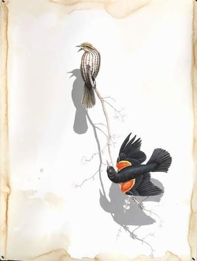 Redwing_blackbirds_e