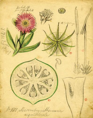 Mesembryanthemum_185_lg_2