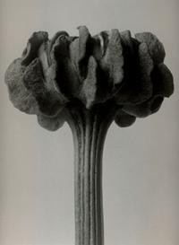 Chrysanthemum_carinatum