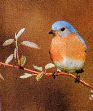 Blubird_1
