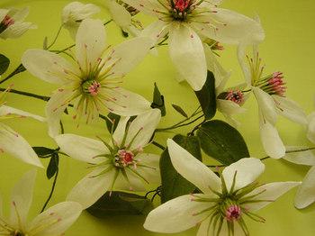 Clematispaniculata