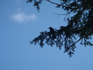 Crow_baby_1