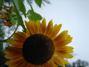 Grateful_sunflower