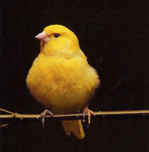 Yellow_bird_sm